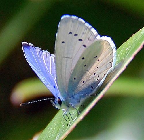 Holly blue butterfly by roseyhadlow, via Flickr.