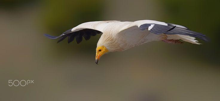 "Egyptian Vulture - <a href=""https://www.instagram.com/murat_caliskan_/"">INSTAGRAM  </a>"