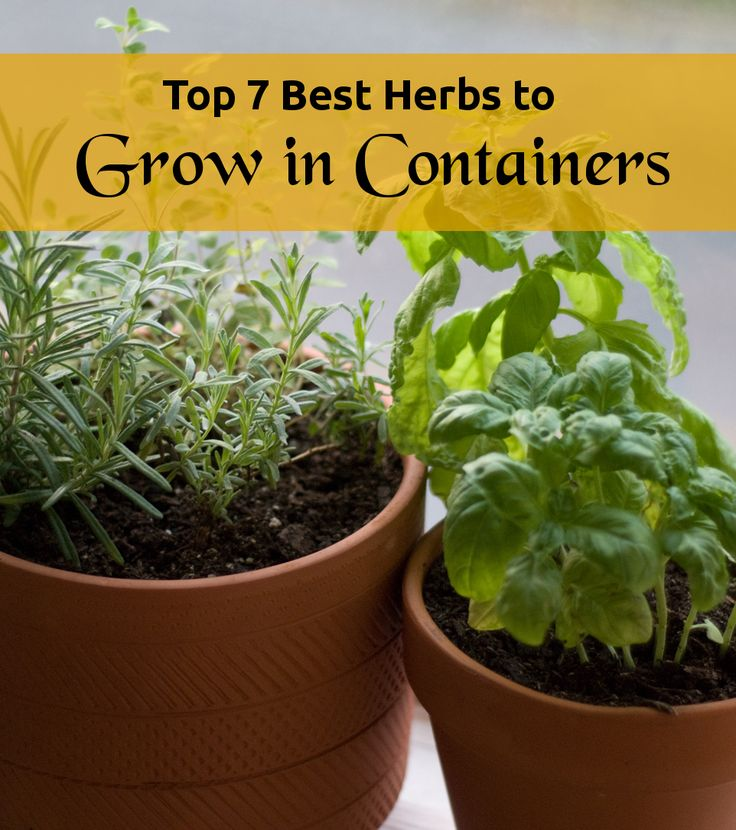 Top 7 best herbs to grow in containers gardening best - Best herbs to grow indoors ...