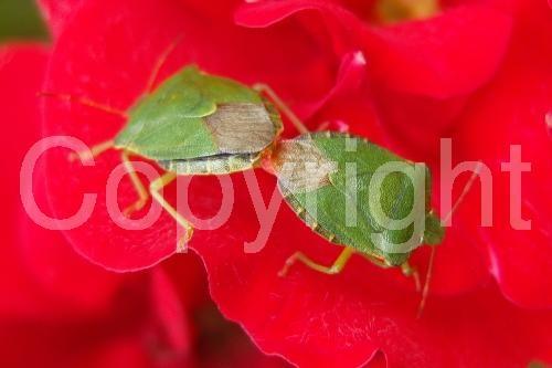 Mating Green Shield Bugs http://www.photoboxgallery.com/mylapshoppublishers #greeenshieldbug