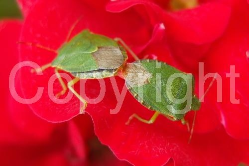 Mating Green Shield Bugs http://www.photoboxgallery.com/mylapshoppublishers #greeenshieldbug