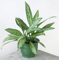 Aspidistra wyniosła (Aspidistra elatior) została sprowadzona do Europy w pierwszej połowie XIX w. Pochodzi z Japonii. Ta mało wymagająca roślina, która z łatwością przystosowuje się do warunków środowiska, rozpowszechniła się bardzo szybko.A...