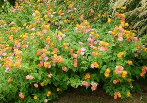 Hardy lantana full sun 3 4 feet flowers attract for Full sun landscaping plants