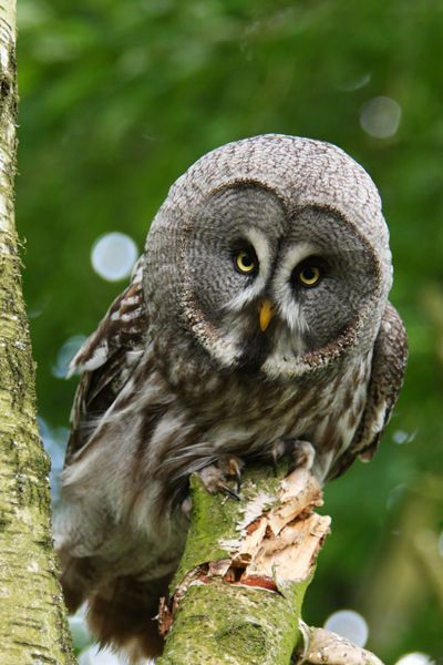 Hello... I am a Great Grey Owl... Or GRAY Owl... Or Great ummm... anyhow... HELLO!