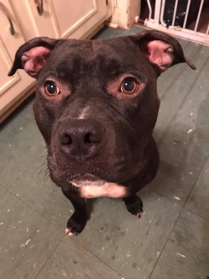 Adopt Neville On Pitbull Terrier Dogs Pet Care Tips