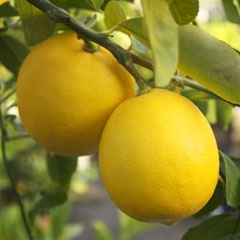 My tree mix - Arizona Lemon Tree Guide - Half the homes in Arizona have atleast one Citrus Tree in the Yard. Here's how to care, buy, etc for yours.