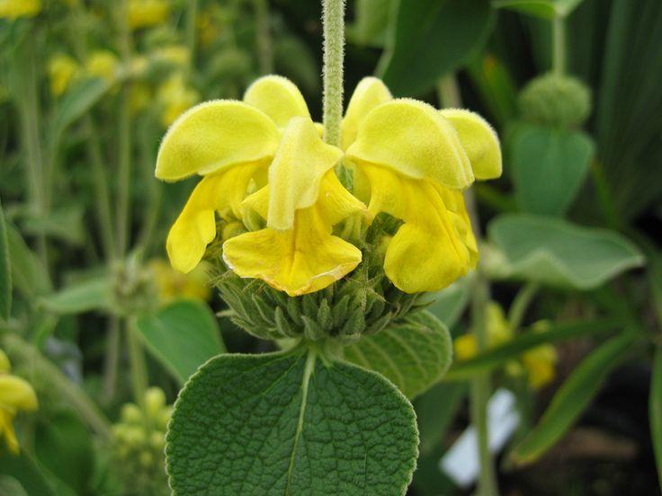 Sauge de Jérusalem, Phlomis grandiflora