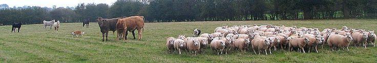 Working Welsh Sheepdog Tales