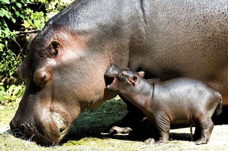 Bébé hippopotame taquine sa maman, au zoo de Bâle, en Suisse.