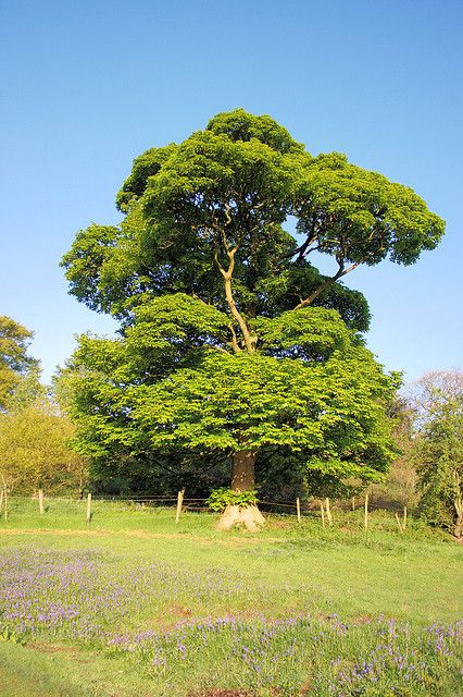 sycamore tree pictures | Sycamore tree ~ Acer pseudoplatanus