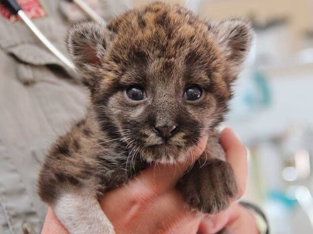 1 week old Florida Panther kitten. An endangered species