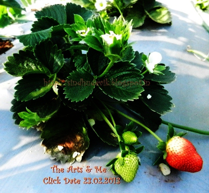 View more photos of strawberries @  http://sindhudevik.blogspot.in