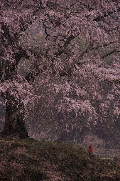 Weeping cherry tree at Kamihocchi, Gunma, Japan 上発知