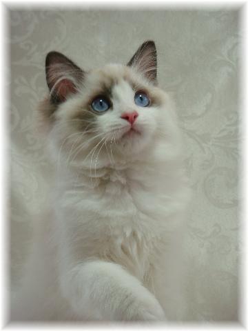 Ragdoll Kitten <3