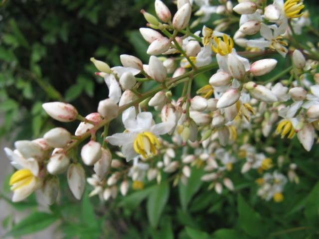 1月7日の誕生日の木は「ナンテン(南天)」です。 メギ科ナンテン属の常緑低木です。原産地は中国。日本では、本州の関東より西、四国、九州など比較的あたたかい地域の山林に自生しています。一説によると、中国から薬用、観賞用として伝えられたものが、栽培されているうちに野鳥のエサとなり、種子が各地に散布されたのではないかということです。 ナンテンの名前は、中国の漢名「南天燭」「南天竹」に由来します。ちなみに、南天燭の「燭」は、南天の実が「燭〜ともし火」のように赤く、南天竹の「竹」は株立ちが竹に似ているからこう呼ばれるようになったそうです。 日本では「ナンテン」という語感が、「難(ナン)を転(テン)じる」に通じることから縁起木とされてきました。江戸の百科事典「和漢三才図会(わかんさんさいずえ)」には、「南天を庭に植えれば火災を避けられる。とても効き目がある(現代語訳)」という記述があり、防火・厄よけとして庭先や鬼門にも植えられてきました。