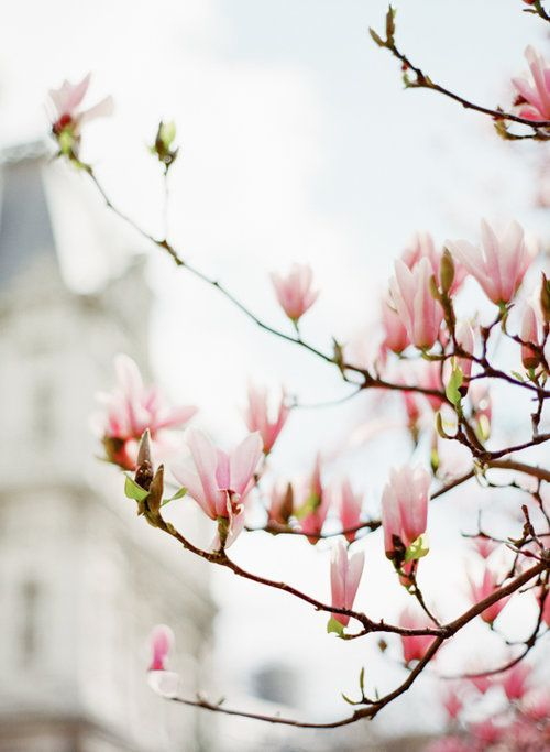 Spring time in Paris. Magnolia blooms. Photography by Heidi Lau.