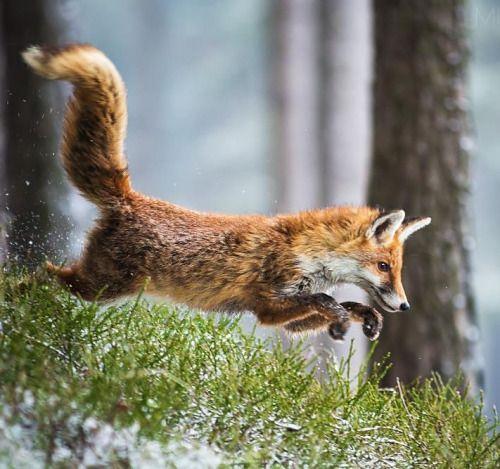 Red Fox by Michal Vařečka