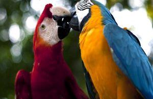 Fauna de la selva peruana - El guacamayo