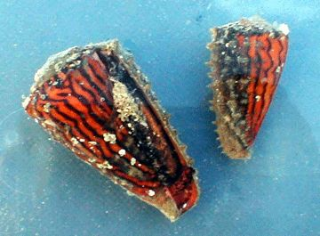 Live specimens of Conus princeps found under rocks in intertidal cove, Guaymas, Sonora State, W. Mexico