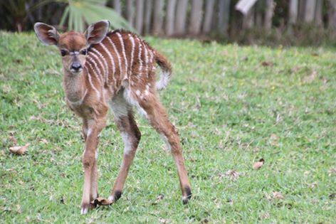 Remember the Nyala born in the gardens at Chisomo a few weeks ago?  Well 10 days on and we thought you may appreciate an update. A little more sturdy on its feet now, it appears to be doing well!