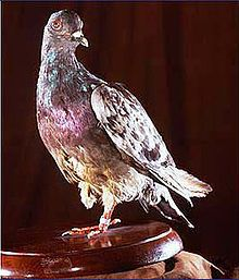 TIL a WW1 homing pigeon saved 194 men by continuing her flight after losing a leg, an eye and having been shot through the chest