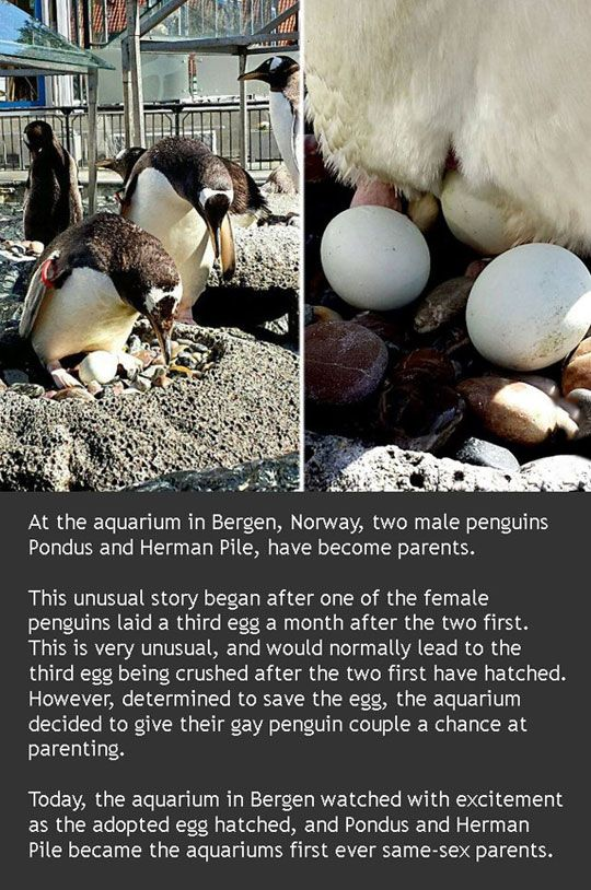 The two birds have previously fathered chicks with female penguins. However, they both left their female lovers and became an item. Penguins chicks are often brought up by two males or two females. http://crossdreamers.tumblr.com/post/90580666916/bisexual-male-penguins-adopt-egg-and-hatch-chick-at