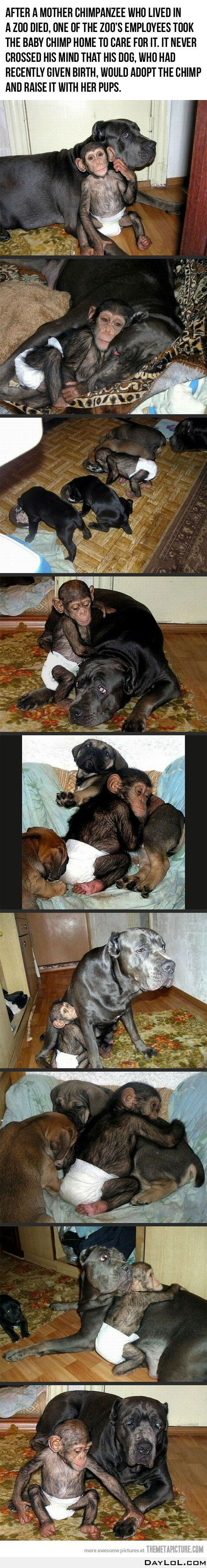 Baby chimpanzee adopted by a dog. So sweet, I like the picture of the chimp, eating with the other puppies.