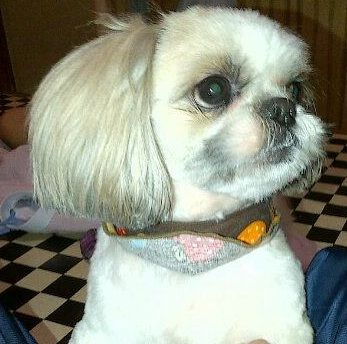 shih tzu face haircut 105 best images about shih tzu hair cuts on 2911 | 35a15e9d0d5694bfee0545376a018416