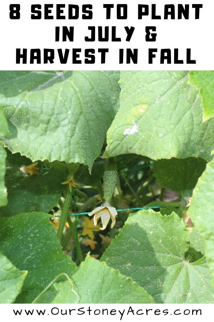 Get These 8 Seeds Planted In Your Vegetable Garden In July For A Great Harvest Before The Frost Comes This Plants Fall Garden Vegetables Vegetable Garden Tips