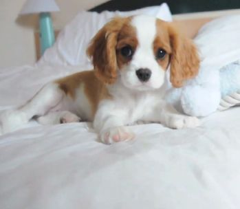 Cavalier King Charles Spaniel puppies are possibly the cutest things ever, and they are so sweet ...I'm trying to convince the boyfriend, but does he like them? NO!