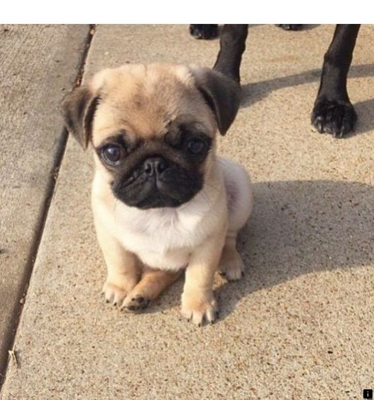 Just Click The Link To Find Out More Black Pug Puppies For Sale