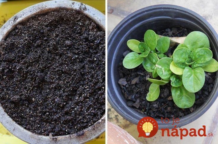 Špenát nemusíte kupovať v obchode: Jednoducho a rýchlo ho vypestujte doma v kvetináči!