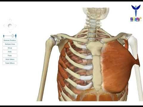 Le membre supérieur : les muscles unissant le membre supérieur au thorax