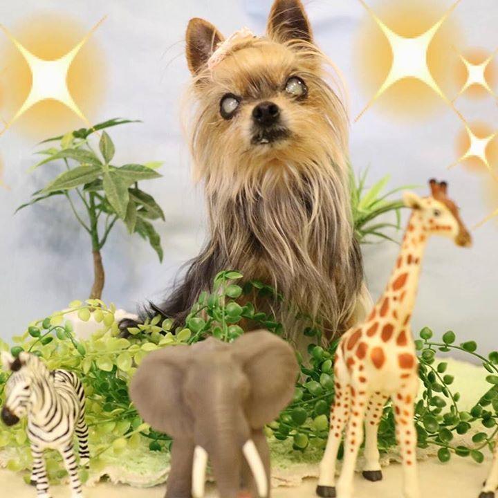 百獣の王 #ヨーキー #ヨークシャテリア #チワワ #ちわわ #多頭飼い #仲良し #chihuahua #わんこ #シニア犬 #yorkie #terrier #yorksireterrier #dog #dogs #dogstagram #cute #love #dogsofinstagram #instadog #todayswanko #dogs_of_instagram #lovemydog #cutedogs #lovedogs #petstagram #olddog #チームシニアヨーキー #カメラ女子 #キャノン #EOSM3  by mini_mini_rin