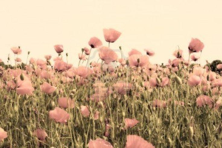 vecchia foto del colore rosa polveroso di campi di papavero Archivio Fotografico