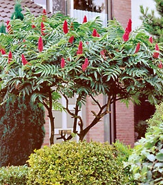 American Sumac.  I would like to try to grow some of this.  The bare spring branches look like suede covered deer antlers...hard to imagine from this photo.