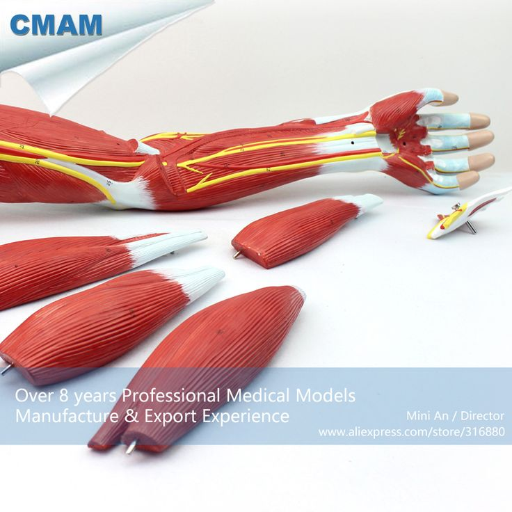 CMAM-MUSCLE03 Anatomical Vascular Never Model of Upper Limb Muscle , Medical Science Educational Teaching Anatomical Models