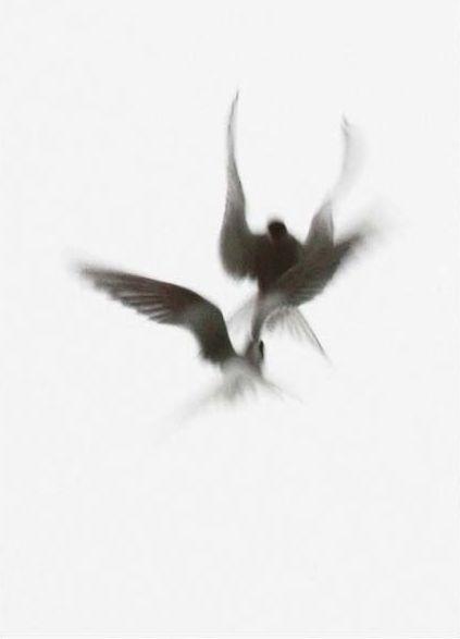 Fighting Arctic Terns Rod Morrod (via: maidenhead.cc)