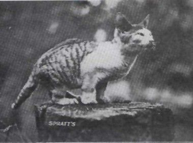 Australian female cat from the late 1800s/early 1900s with short forelegs. Possibly the first documented short-legged cat.