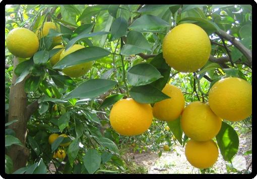 Nuestras naranjas Salustiana ya están cambiando de color.