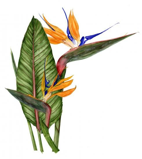 Strelitzia  Bird of Paradise  Watercolor  © 2012 Marsha Ogden  Marsha turned her attention to botanical art and illustration after enjoying a long career in publications and communications in the Washington, DC, area. She has studied at the Brookside School in Maryland, founded by Margaret Saul, and with several internationally known botanical artists. Marsha especially enjoys field sketching that enables her to capture the intriguing, fragile, and fleeting nature of living things.