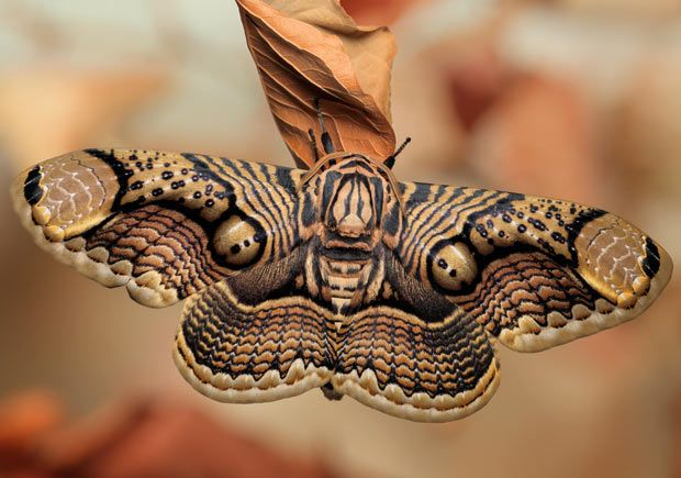 Zentangle Inspired Art by Mother Nature (an adult Brahmin moth, photo by Igor Siwanowicz)
