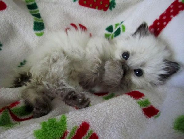 687 best images about the cat 39 s meow on pinterest i love for Christmas pictures of baby animals