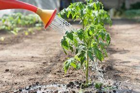 7 секретов выращивания томатов