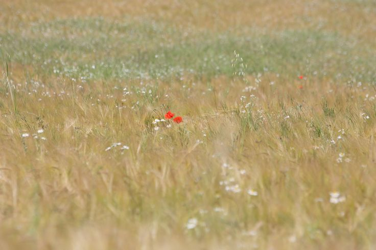 Poppy in field at Flatford, Suffolk