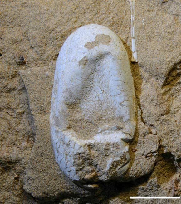 Fossil egg of Hamipterus tianshanensis. Scale bar - 2 cm. The paleontologists also examined the well-preserved pterosaur eggs to find that they were pliable, with a thin, calcareous eggshell outside and a soft, thick membrane inside, similar to the eggs of some modern-day snakes. Image credit: Xiaolin Wang et al.