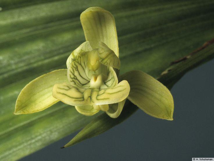Resultado de imagem para Claderia orchid