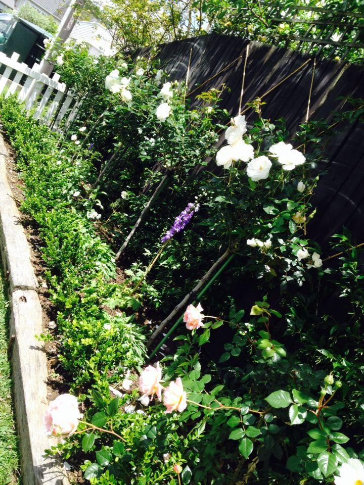 White and green border garden of white iceberg roses, star jasmine and buxus hedging