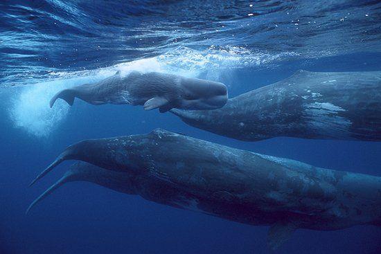 el cachalote 4       nombre científico de este nombre es Physeter macrocephalus. Habita en la mayoría de los océanos, es una especie asombrosa.  Son muy sociables, las hembras forman una especie de manada de 12 individuos.
