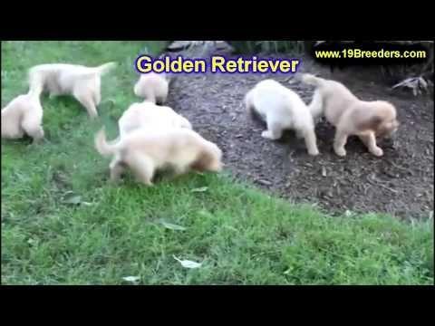 Labrador Retriever Puppies Kansas City Area Golden Retriever